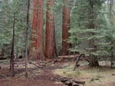 Majestic Redwoods in Yosemite National Park